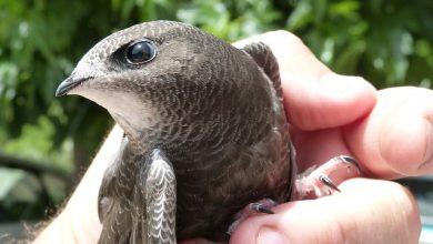Photo of طائر ابابيل في الجزائر